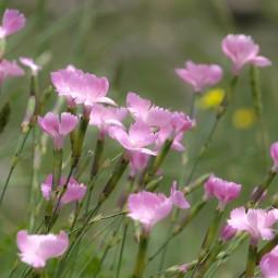 Видеоролик «Знакомство с луговыми цветами и травами Подмосковья. Гвоздика полевая»