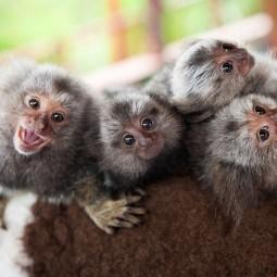 «Осторожно обезьянки...»