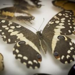 Выставка «Бабочки пушкинского детства»